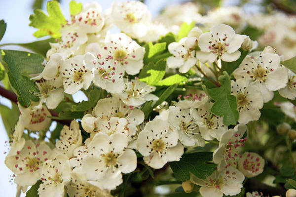 Photograph - Neston.  Hawthorn Blossom. by Lachlan Main