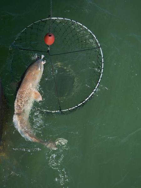 Photograph - Netting A Big Redfish by Bradford Martin