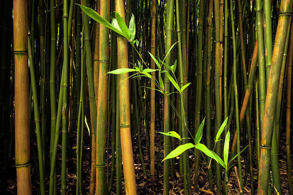 Bamboo Photograph - New Bamboo Shoot by Christopher Johnson