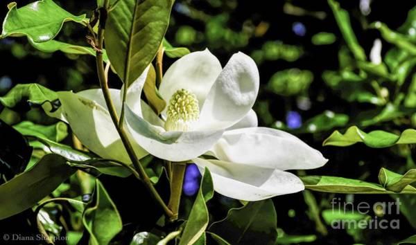 Photograph - New Blossom by Diana Mary Sharpton