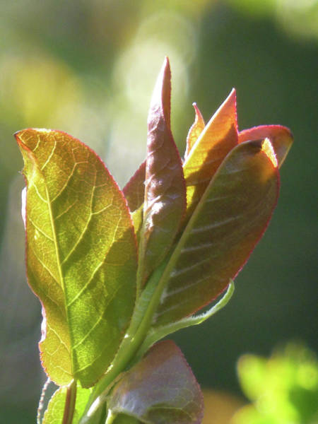 Photograph - New Chokecherry Leaves by Cris Fulton