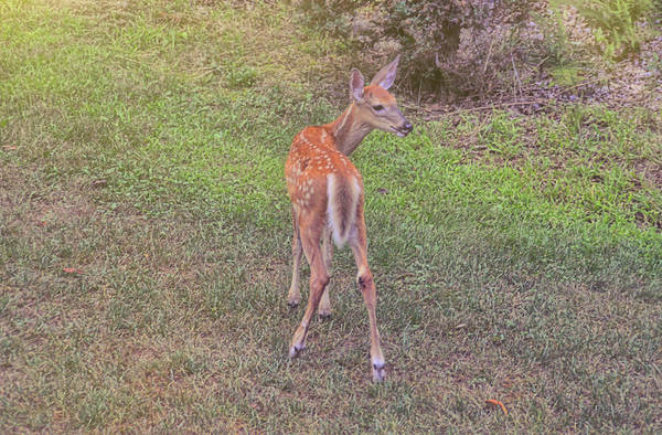 Photograph - New Fawn by JAMART Photography
