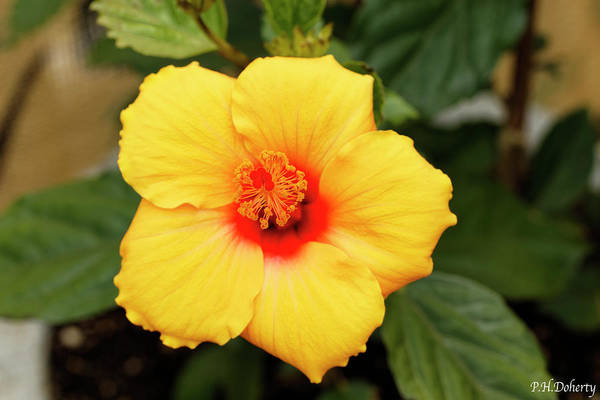 Mallow Family Wall Art - Photograph - New Hibiscus Bloom by Phill Doherty