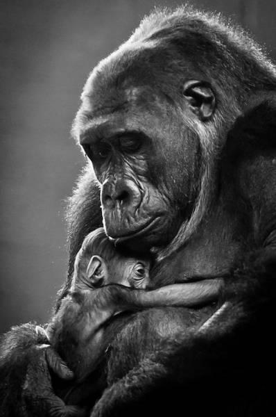 Photograph - New Mother Gorilla by Raúl González Fernández