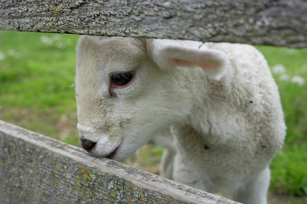 Barnyard Photograph - New York Baby Lamb Looking Through Fence by Cindy Miller Hopkins
