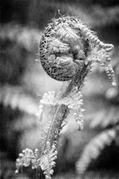 Photograph - New Zealand Fiddlehead Bw by Joan Carroll