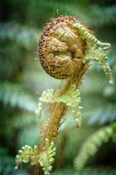 Photograph - New Zealand Fiddlehead by Joan Carroll