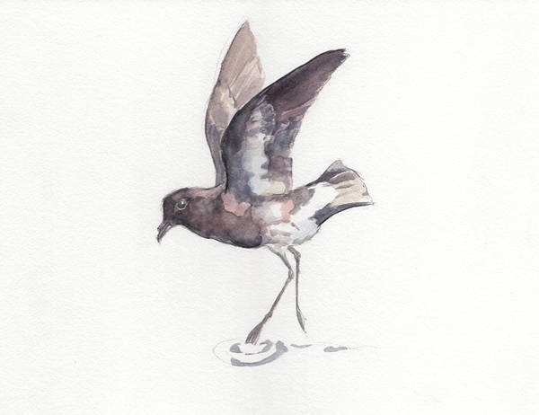 New Zealand Storm Petrel Art Print