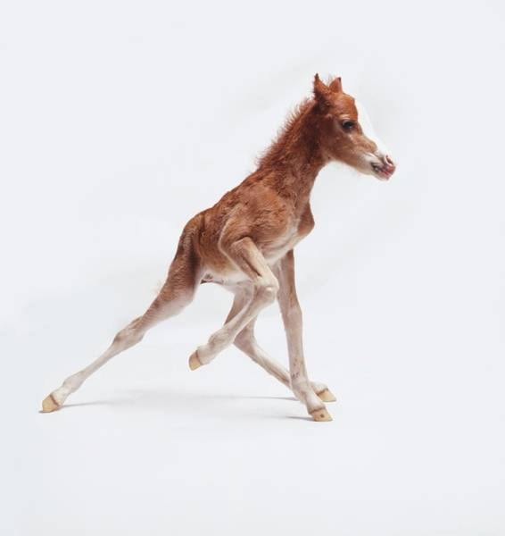 Pet Care Photograph - Newborn Foal Equus Caballus With Wobbly by Gordon Clayton