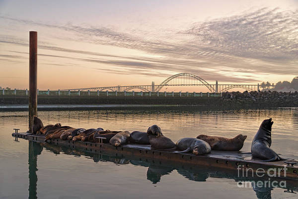 Photograph - Newport Sea Lions by Craig Leaper