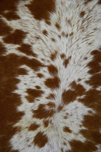 Livestock Photograph - Nguni Cattle Skin, Kwazulu Natal by Roger De La Harpe