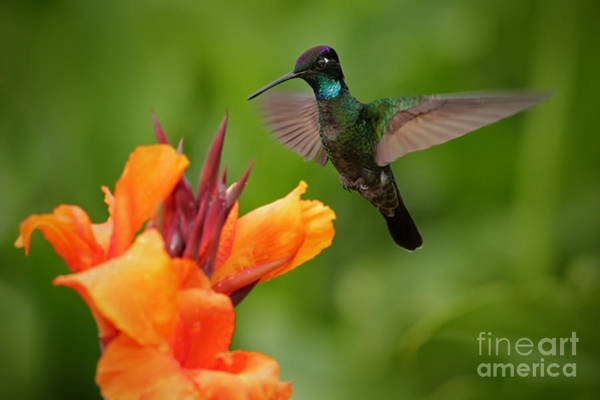 Wall Art - Photograph - Nice Hummingbird, Magnificent by Ondrej Prosicky
