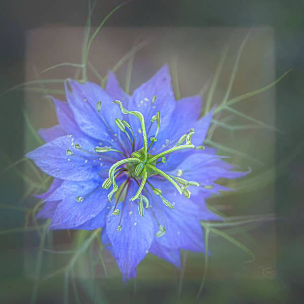 Photograph - Nigella - Love-in-a-mist Square by Teresa Wilson