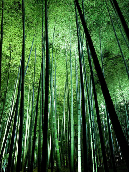 Bamboo Photograph - Night Bamboo by Dale Robinson