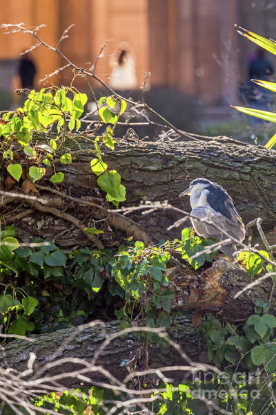 Photograph - Night Heron At The Palace Revisited by Kate Brown