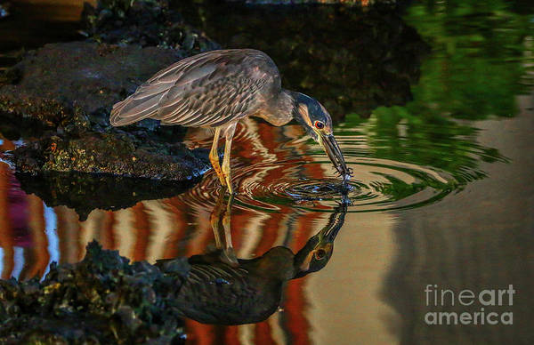 Photograph - Night Heron Catch by Tom Claud