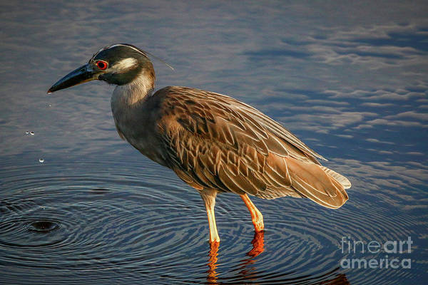 Photograph - Night Heron Dribble by Tom Claud