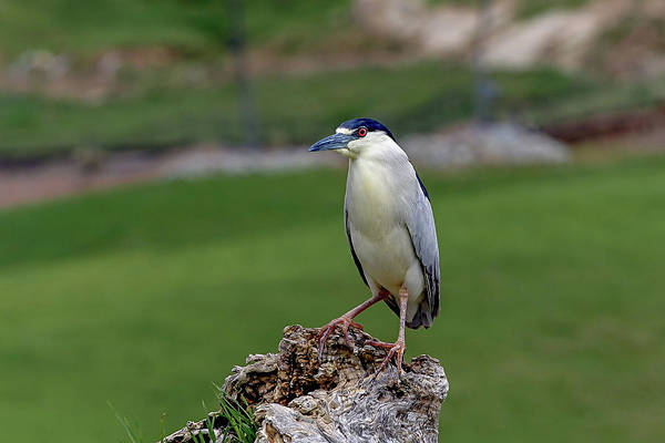 Photograph - Night Heron by Ronnie and Frances Howard