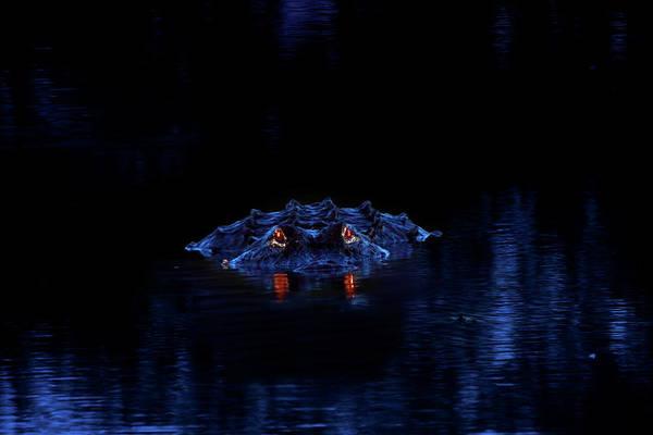 American Crocodile Photograph - Night Stalker by Mark Andrew Thomas
