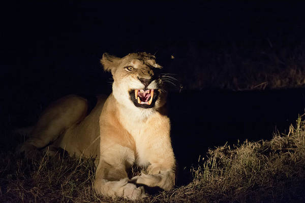 Photograph - Nightmare Lioness by Mark Hunter