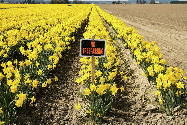 Photograph - No Trespassing In The Daffodils by Tom Cochran