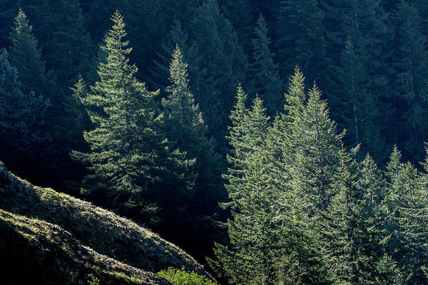 Photograph - Noble Fir And Shadow by Robert Potts