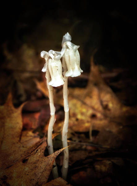 Photograph - Nodding Indian Pipe Wildflowers by Carolyn Derstine