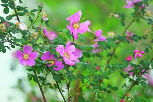 Photograph - Nootka Rose Bush Rosa Nutkana by Sharon Talson
