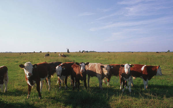 Cow Photograph - Norfolk Cows by Epics