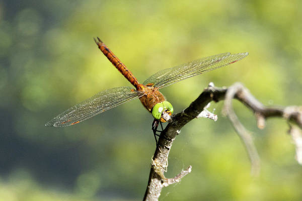 Photograph - Norfolk Hawker Dragonfly by Scott Lyons