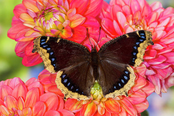 Wall Art - Photograph - North American Butterfly Mourning Cloak by Darrell Gulin