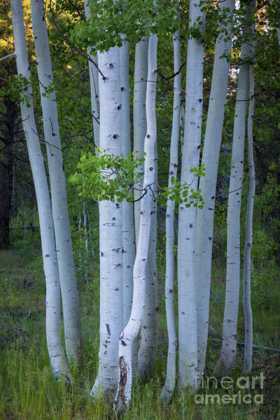 Wall Art - Photograph - North Rim Birch Grove by Inge Johnsson