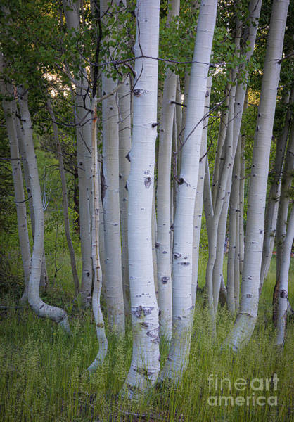 Wall Art - Photograph - North Rim Birch Trees by Inge Johnsson