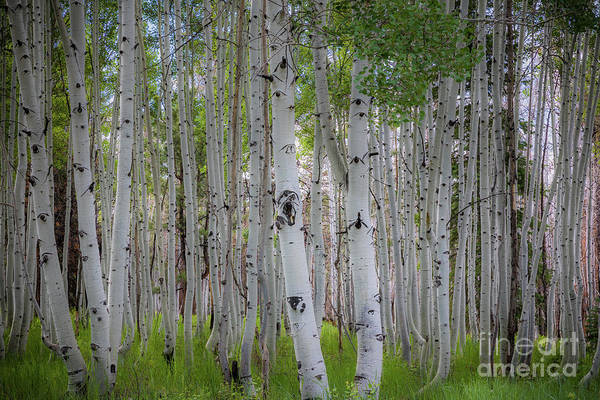 Wall Art - Photograph - North Rim Birches by Inge Johnsson