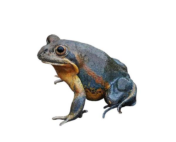 Drawing - Northern Banjo Frog White Background by Joan Stratton