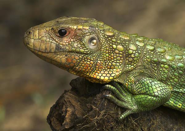 Wall Art - Photograph - Northern Caiman Lizard by Michael Lustbader