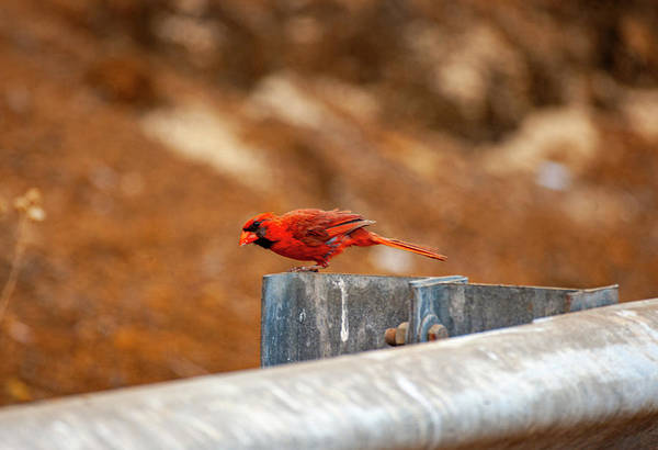 Photograph - Northern Cardinal by Anthony Jones