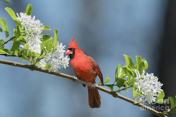 Wall Art - Photograph - Northern Cardinal In Early Spring by Bonnie Barry