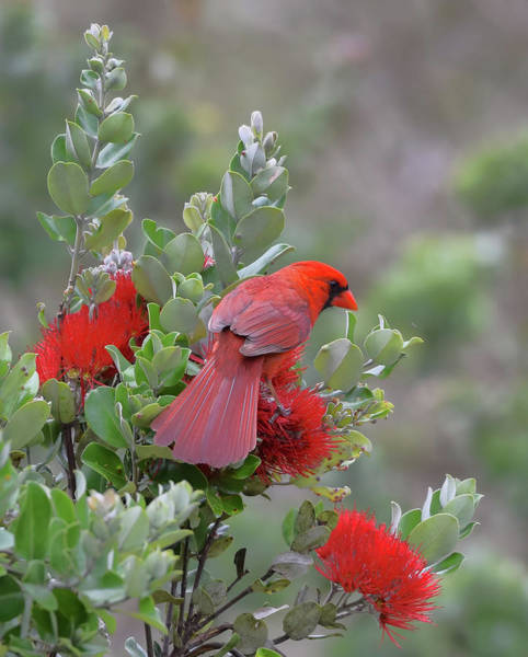 Photograph - Northern Cardinal On Ohia Lehua Flower by Pamela Walton