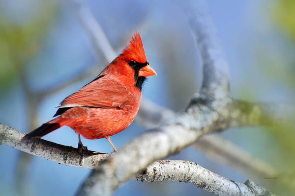 Photograph - Northern Cardinal Scarlet Blaze by Christina Rollo