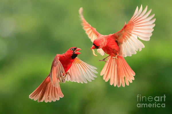 Wall Art - Photograph - Northern Cardinal, Wildlife by Jesse Nguyen
