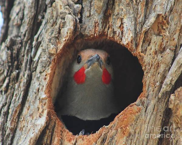 Northern Flicker Photograph - Northern Flicker In A Hollow by Nick Bonse