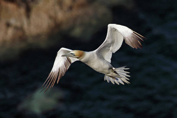 Wall Art - Photograph - Northern Gannet In Flight by Grant Glendinning