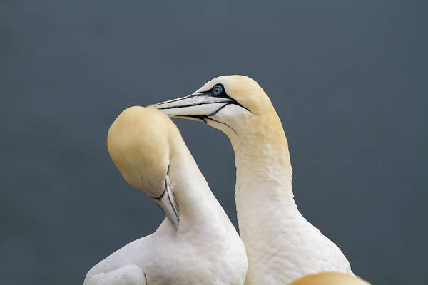 Smith Rock Photograph - Northern Gannet Morus Bassanus Pair by Mark Smith