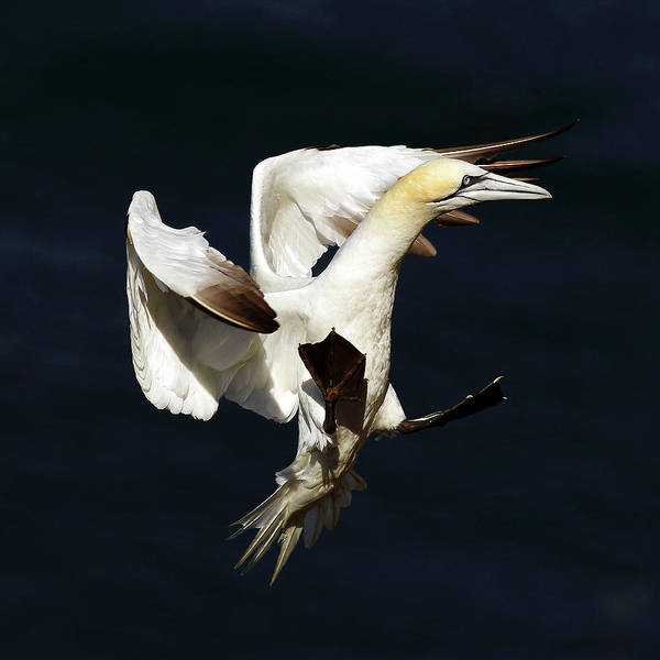 Photograph - Northern Gannet - Square Crop by Grant Glendinning