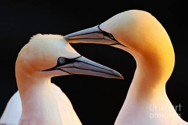 Wall Art - Photograph - Northern Gannets, Detail Head Portrait by Ondrej Prosicky
