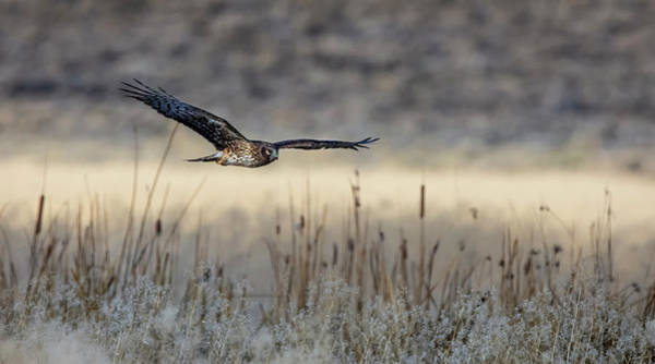 Photograph - Northern Harrier 3 by Rick Mosher