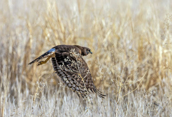 Photograph - Northern Harrier 4 by Rick Mosher