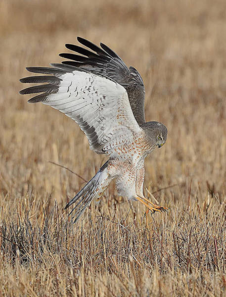 Harrier Photograph - Northern Harrier Attacks by William Jobes