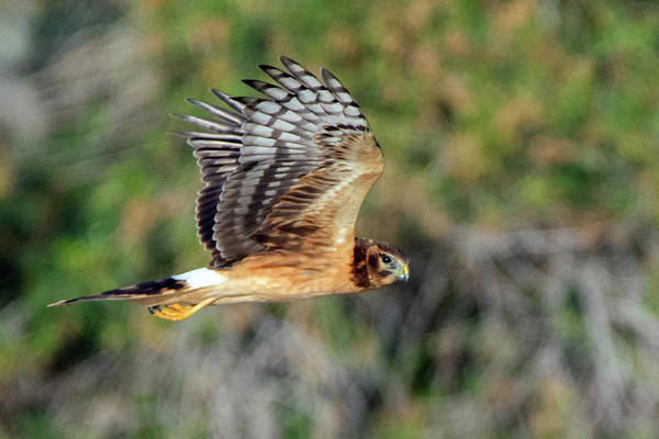 Photograph - Northern Harrier Female 3389-120518-2 by Tam Ryan